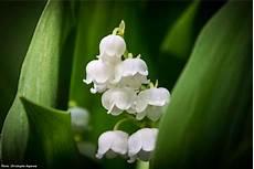 muguet plantation entretien promesse de fleurs