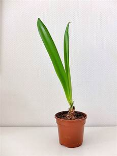 amaryllis pflege im sommer amaryllis pflege kinderleicht meine 6 tipps parzelle94 de