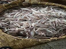 Gambar Ikan Teri Hidup Basah Dan Kering Dari Medan Tanpa