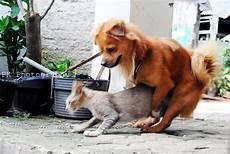 Ivanildosantos Gambar Kucing Kawin