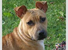 American Staffordshire Terrier   Animals   A Z Animals