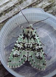 merveille du jour ceredigion moths merveille du jour and flounced chestnut