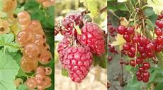 arbuste fruit arbustes fruitiers comment les planter