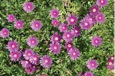 pianta grassa fiori viola fiori viola tavolozza della natura fai da te in giardino