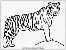 Mewarnai Gambar Harimau Kreasi Warna