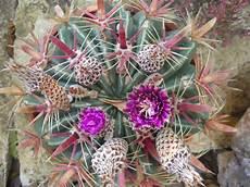 fiori di cactus itinerari di vita la passione per i fiori di cactus