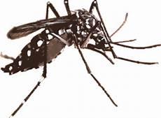 Duke Amiene Rev Nyamuk Aedes Versi Ubahsuaian Genetik