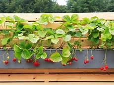 erdbeeren pflanzen balkon anleitung gd58 casaramonaacademy