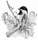 Awesome Drawing Of A Chickadee Coloring Page  Download