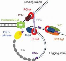 pcn9a model of eukaryotic dna replication pcna function in dna