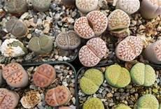 lebende steine arten living stones lithops master gardener program
