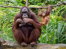 Free Stock Photo Of Ape Baby Ape Orangutan