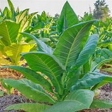 Tabak Selbst Anbauen Mein Sch 246 Ner Garten