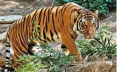 Kepintaran Buatan Boleh Selamatkan Harimau Malaya Free