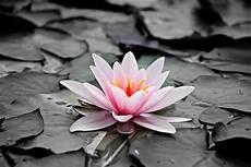 fiori in bianco e nero foto gratis bianco e nero natura foglia flora fiore