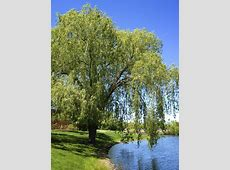 Weeping Willow Tree: Things to Consider in Planting a