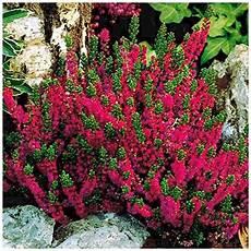 calluna vulgaris sorten plants co uk