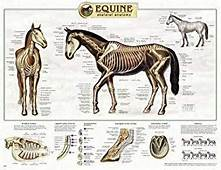 Amazoncom Equine Anatomy Chart Industrial & Scientific