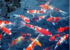 Mengapa Ikan Koi Menarik Populer Dan Mahal Ikankoi Org