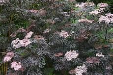 Holunder Black Lace - garden gab sambucus nigra black or black lace