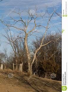 arbre mort achat un arbre d orme mort dans le p 226 turage photo stock image