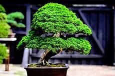 bonsai richtig pflegen home bonsaiforum ch i dein forum wenn es um bonsai