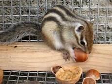 gabbia per scoiattolo giapponese lo scoiattolo e la nocciola