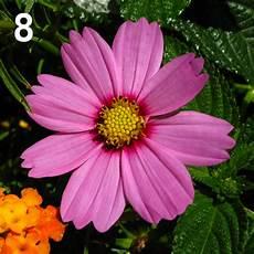fiore con a fiori di fibonacci