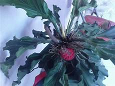 Tanaman Hias Bunga Hias Sukanegeri Bunga Gelombang Cinta