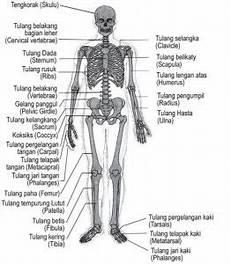 12 Sistem Anatomi Tubuh Manusia Fungsi Dan Penjelasan