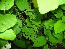 Hortensien Krankheiten Blätter - gelbgeaderte bl 228 tter an der hortensie mein sch 246 ner