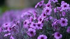 flower wallpaper for pc purple flowers geranium ornamental flowering plants hd
