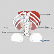 Ginjal Anatomi Fungsi Dan Tips Untuk Menjaganya Tetap Sehat