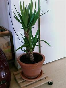 Yucca Beim Umtopfen Besch 228 Digt Pflanzen Botanik