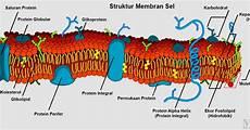 Bagaimana Struktur Membran Plasma Jelaskan Dengan Gambar