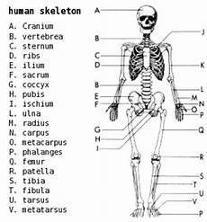 human skeletal system diagram labeled claye willcox athlete dev muscular skeletal systems joints