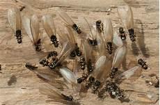 Termite Bois Maison Ventana