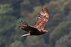 400 Gambar Burung Elang Yang Belum Diwarnai Hd Terbaik