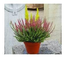 Heidepflanzen Kaufen Heidekraut Calluna Erica