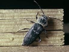 Les Insectes Xylophages Et Le Traitement Des Charpentes