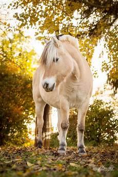 ausmalbilder pferde norweger pferde in der natur monika bogner photography