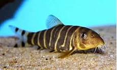 Gambar Ikan Hias Air Tawar Bagus Unik Cantik Harga Murah