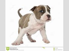 Portrait Of American Staffordshire Terrier Puppy Stock