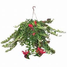 aeschynanthus scoubidou id 233 e cuisine plantes