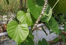 Soap Plant Of Days Pokok Nilam Patchouli Haiwan