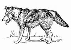 Malvorlagen Wolf Malvorlage Wolf Kostenlose Ausmalbilder Zum Ausdrucken