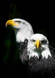 Gambar Burung Elang Terbang Koleksi Gambar Hd