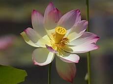fior di lotto free photo lotus blossom flower nature free image on
