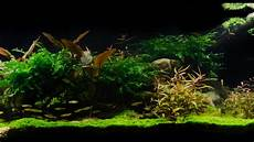 amano aquascape takashi amano tribute aquascape by findley pebbles