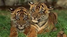 Harimau Anak Lucu 2 Alamendah S